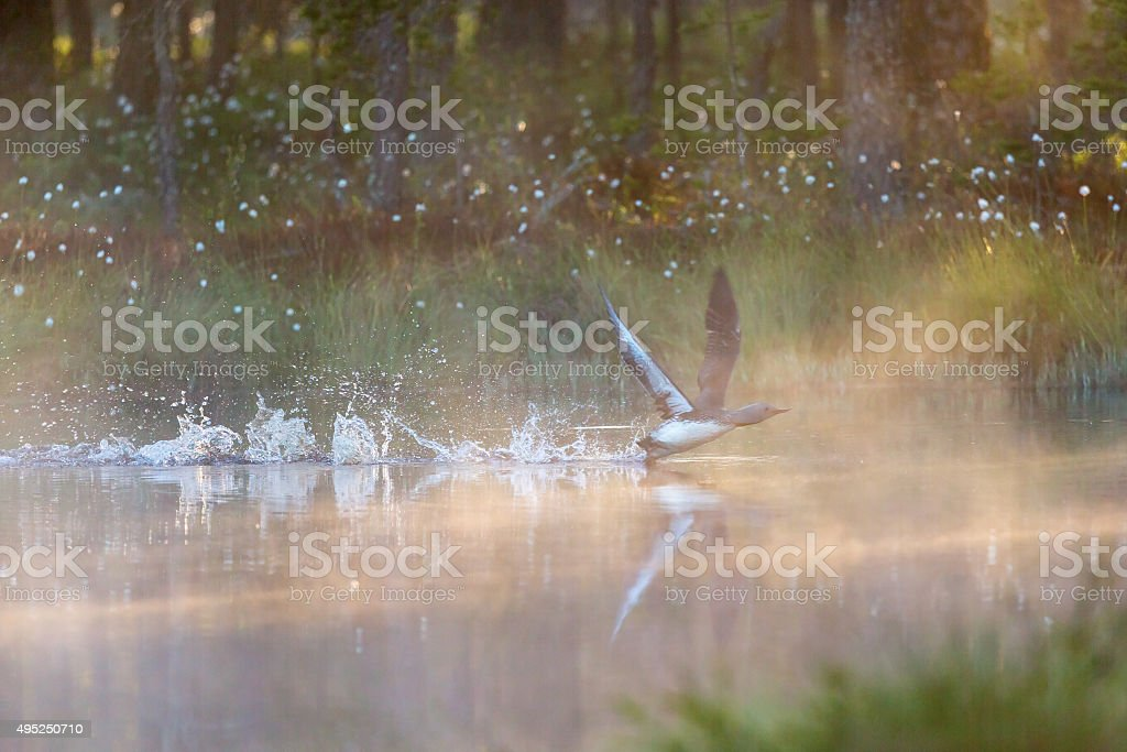 Red Throated Loon starting on the water stock photo