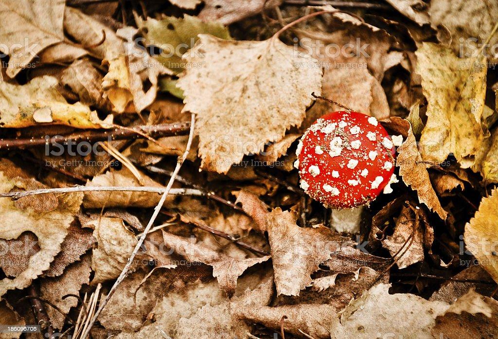 Red Giftpilz zwischen Herbst Blätter Lizenzfreies stock-foto