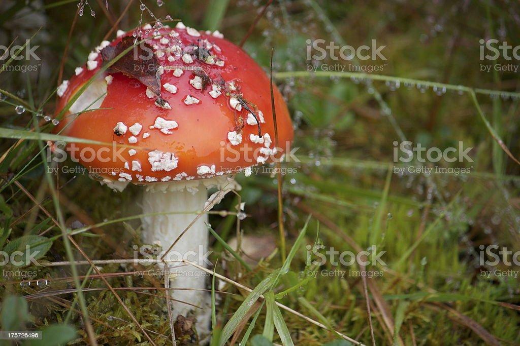 Rojo seta venenosa foto de stock libre de derechos
