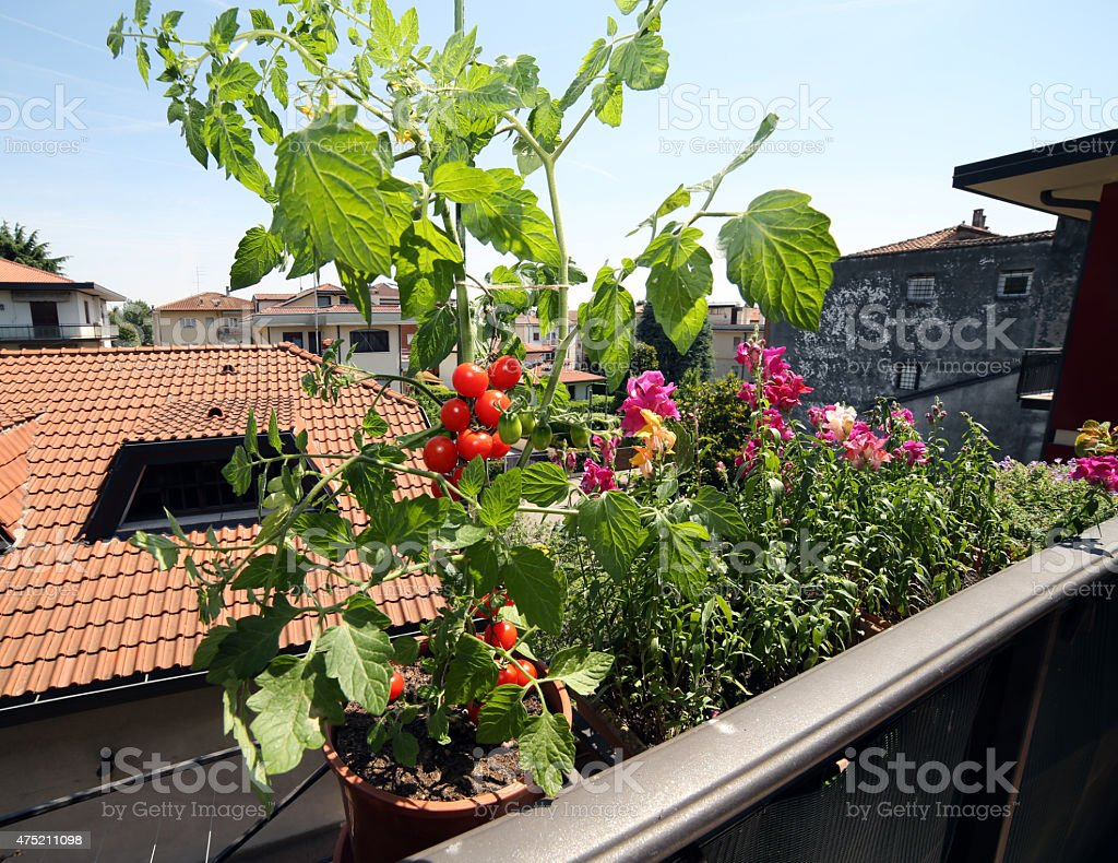 red tomato plant in the balcony stock photo