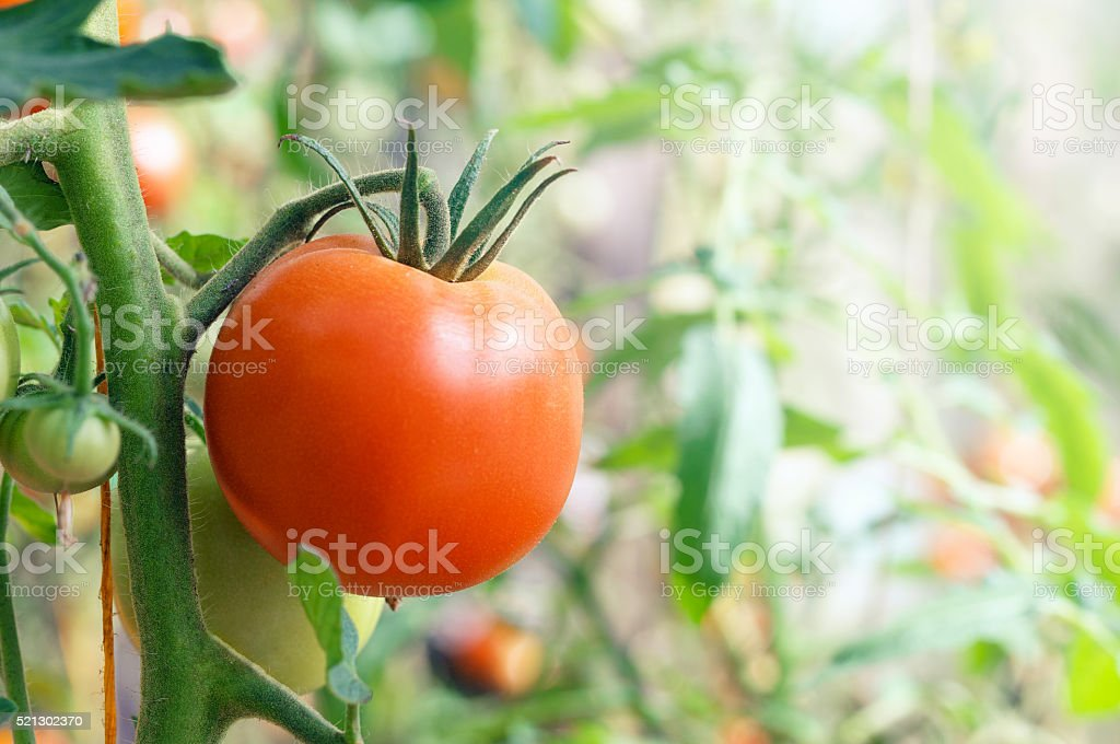 Red tomatoes growing on the branches stock photo