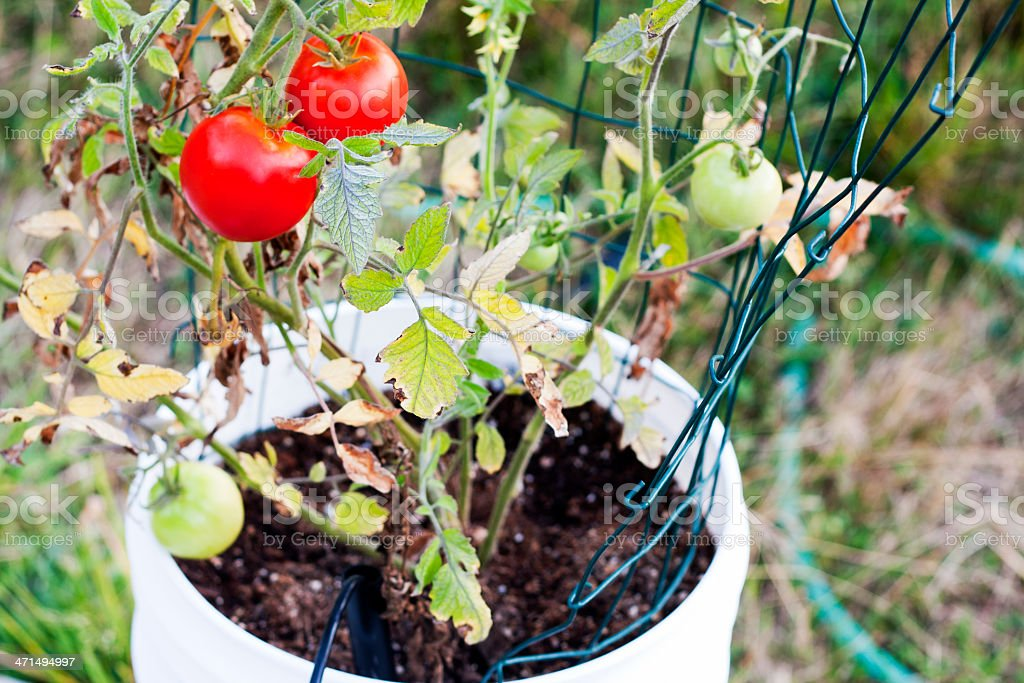 Red  Tomatoes in a Bucket Garden stock photo