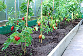 Red tomatoes in a greenhouse