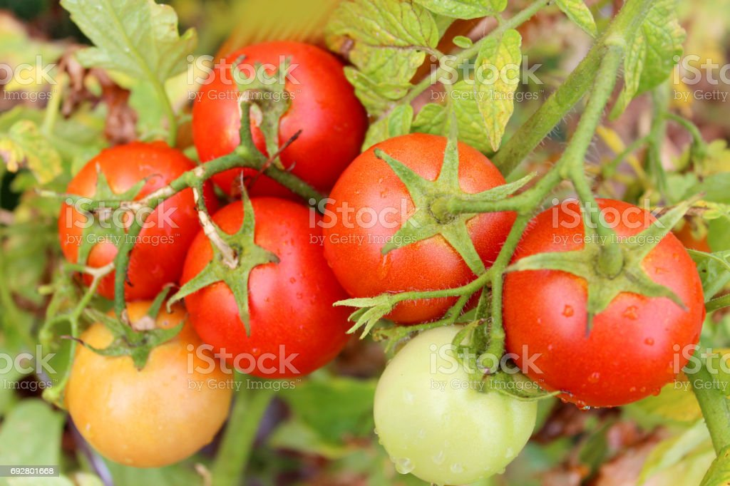 red tomatoes in the bush stock photo
