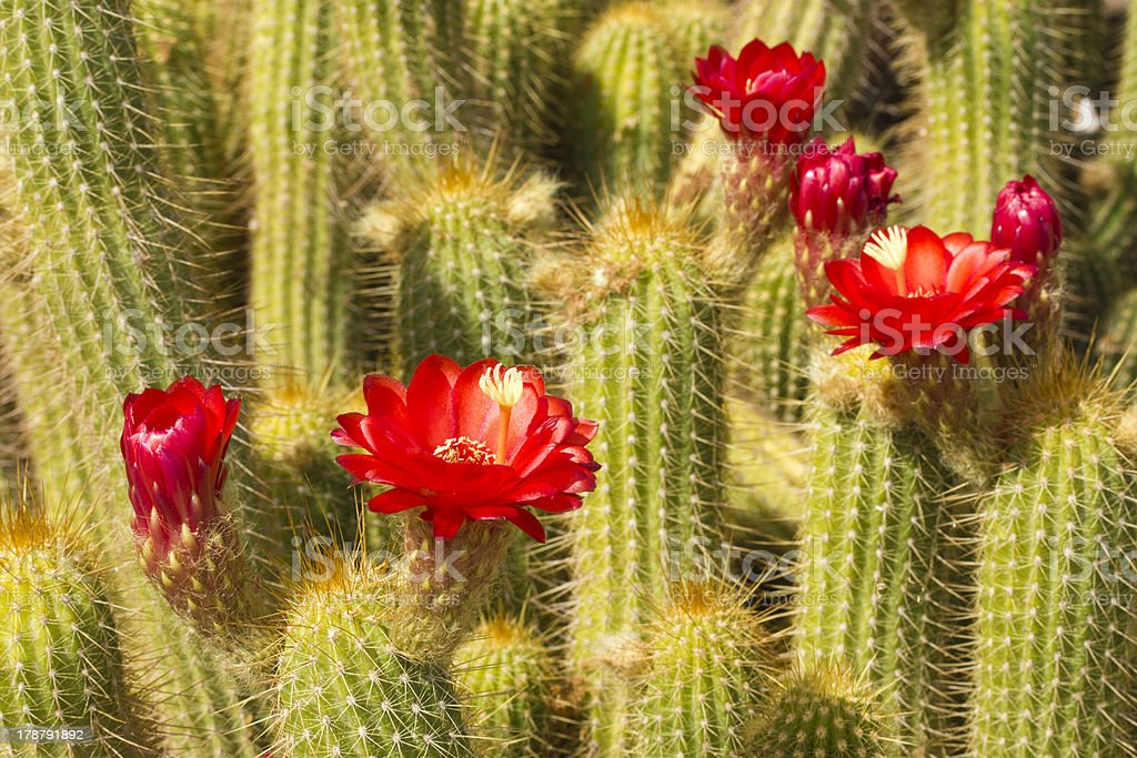 Red Torch Cactus Close up royalty-free stock photo