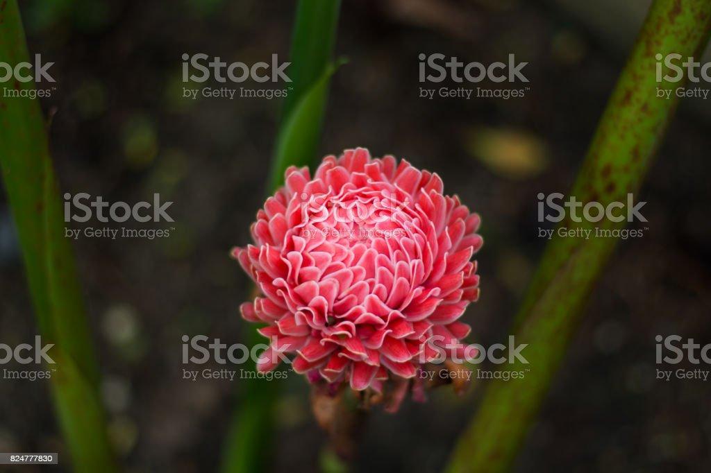 red torch ginger tropical flower (Etlingera elatior (Jack) R.M. Smith) in garden stock photo