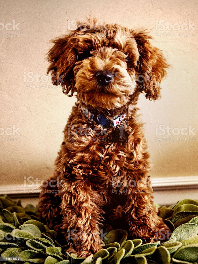 Red Toy Poodle royalty-free stock photo