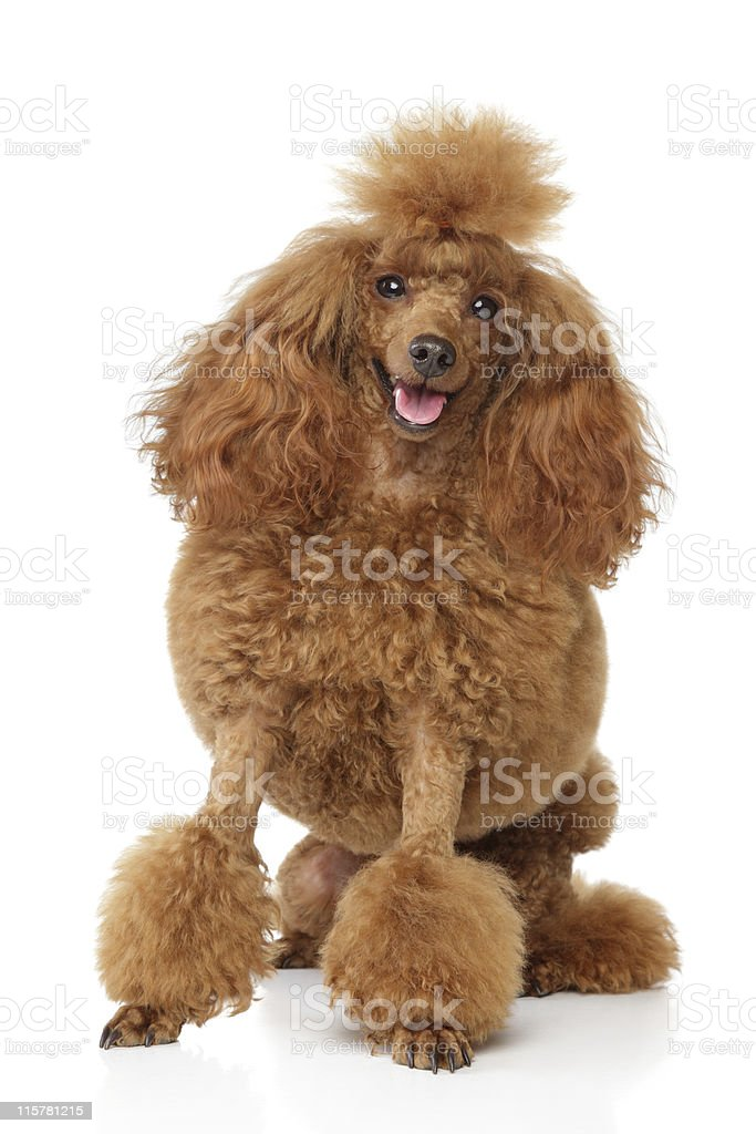Red toy poodle with round haircut on a white background stock photo