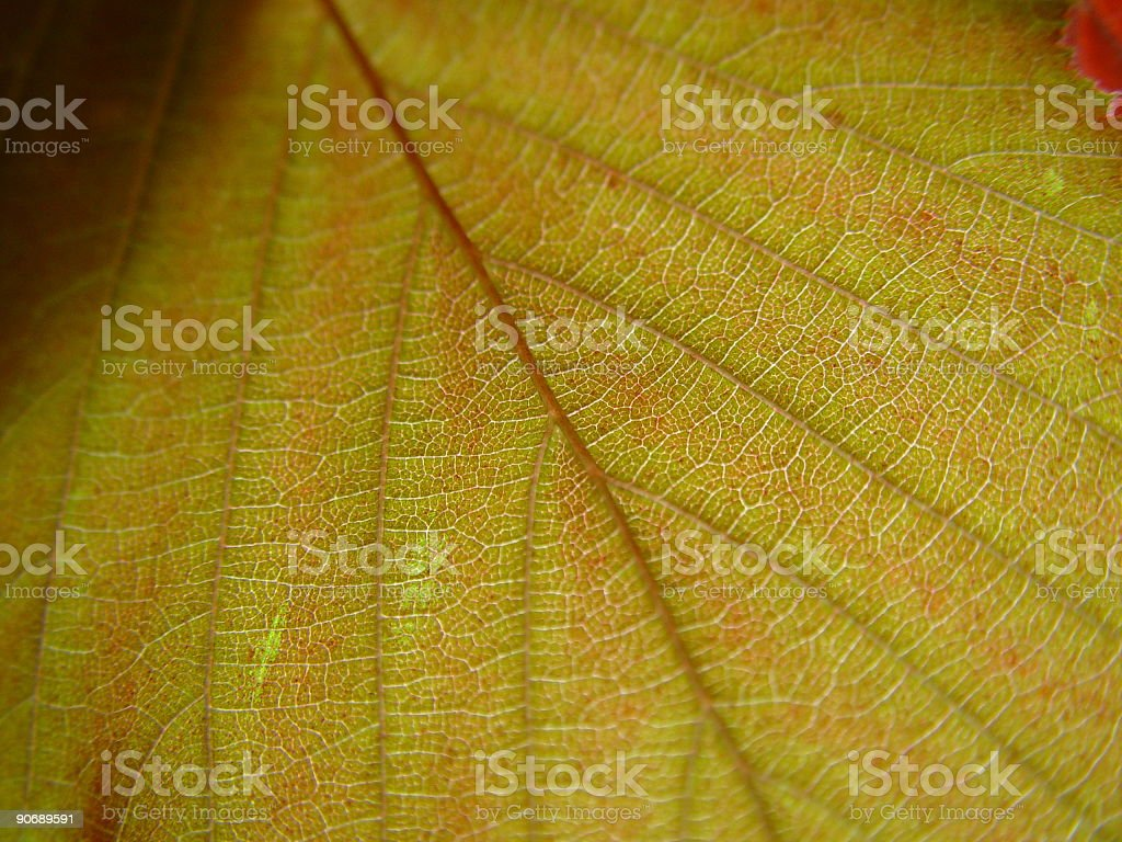 red transparent leaf royalty-free stock photo