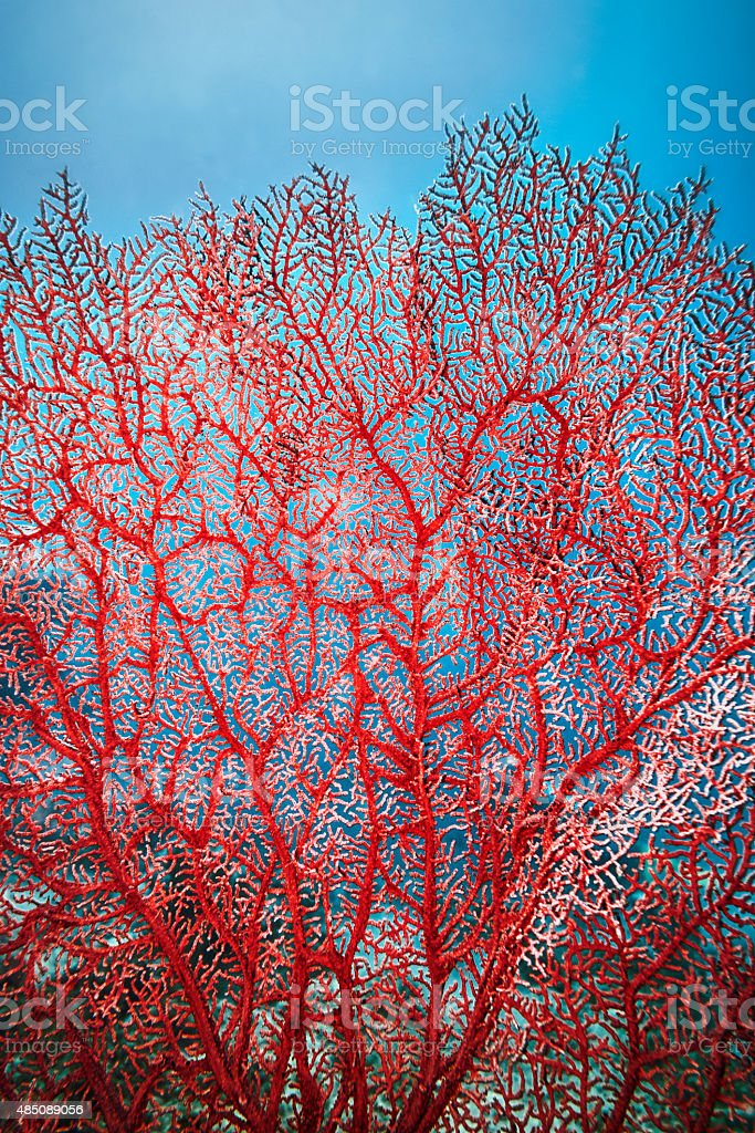 Red Tree Coral stock photo