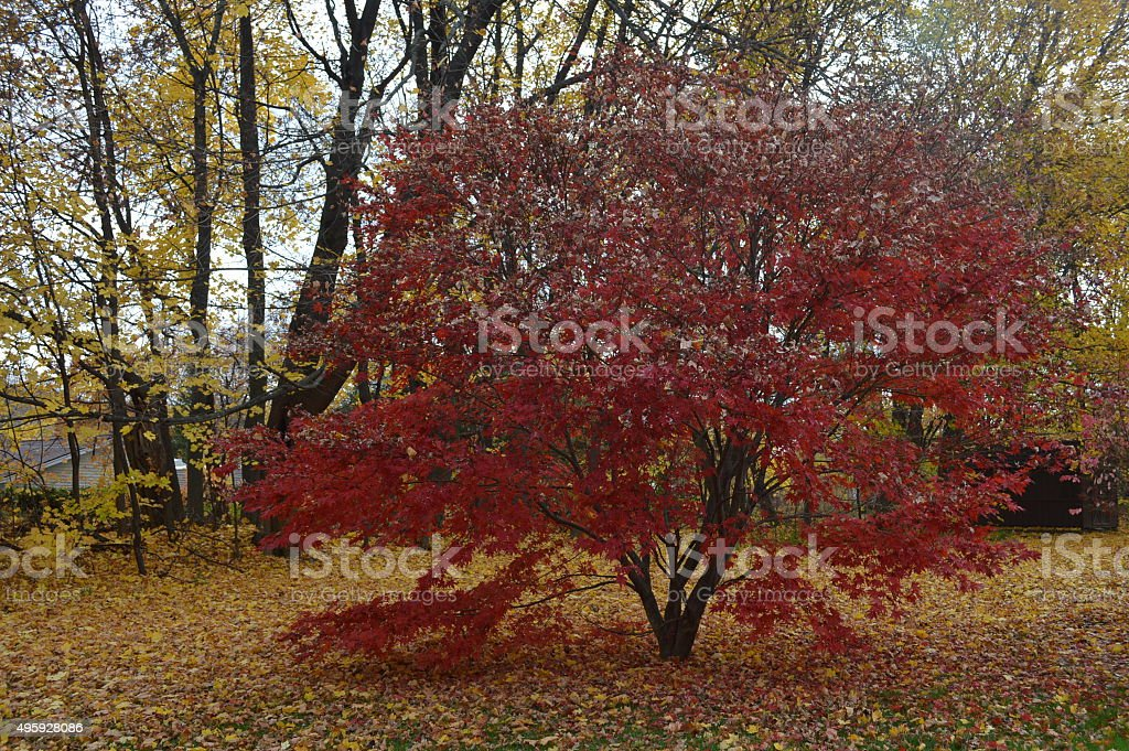 Red tree in an autumn yard stock photo