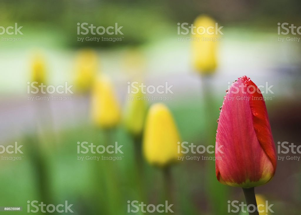Red tulip among the others royalty-free stock photo