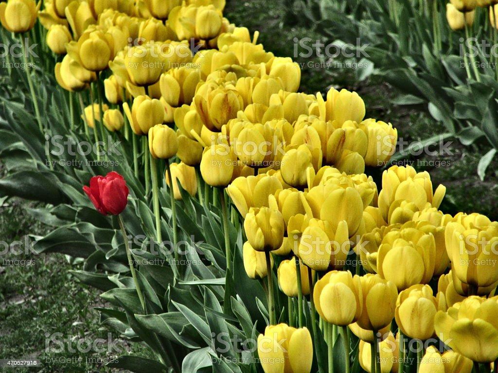 Red Tulip Among Yellow Row of Tulips stock photo