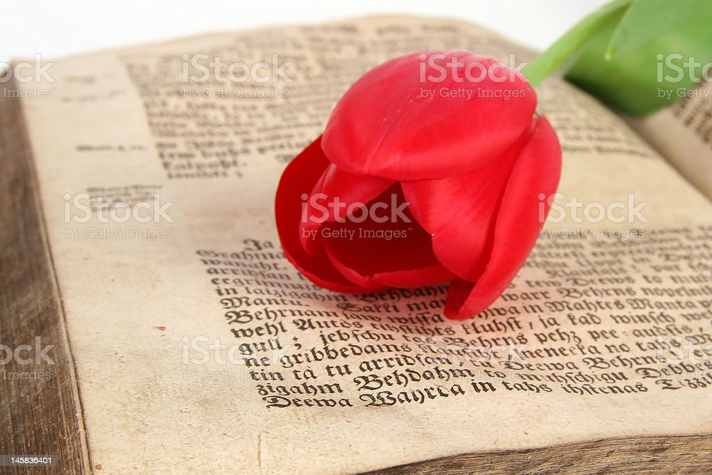 red tulip and vintage bible royalty-free stock photo