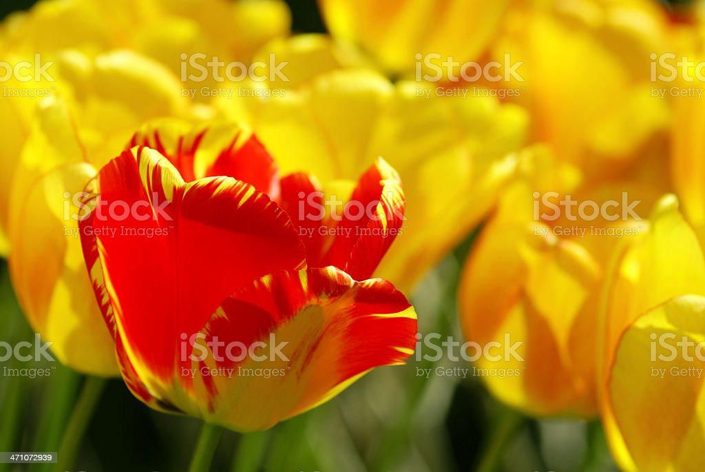 Red tulip and yellow tulips royalty-free stock photo