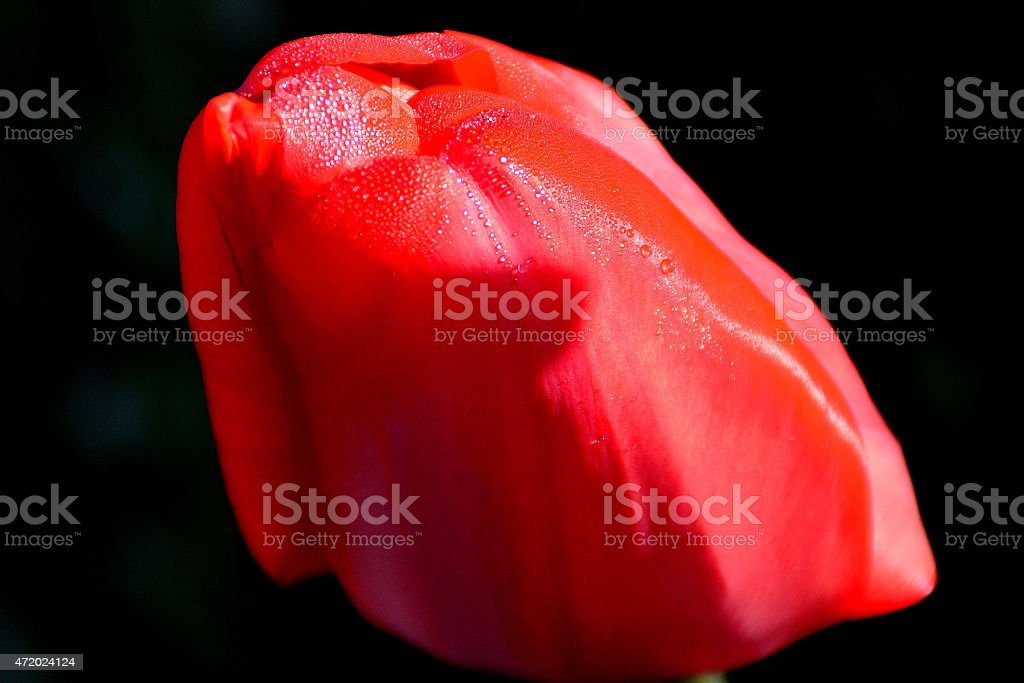 red tulip beautifully covered in droplets of water stock photo