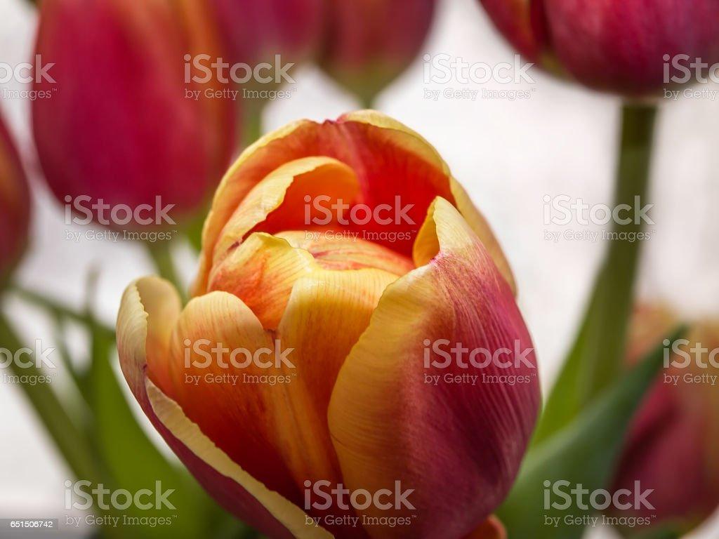 Red tulip close-up stock photo