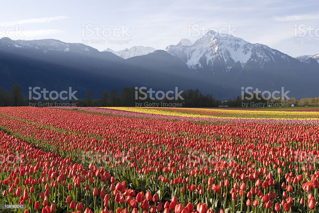 Red Tulip Field at Sunrise royalty-free stock photo
