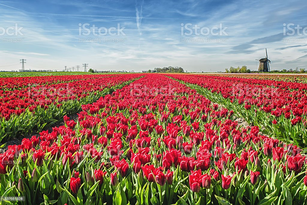 Red Tulip field with windmill stock photo