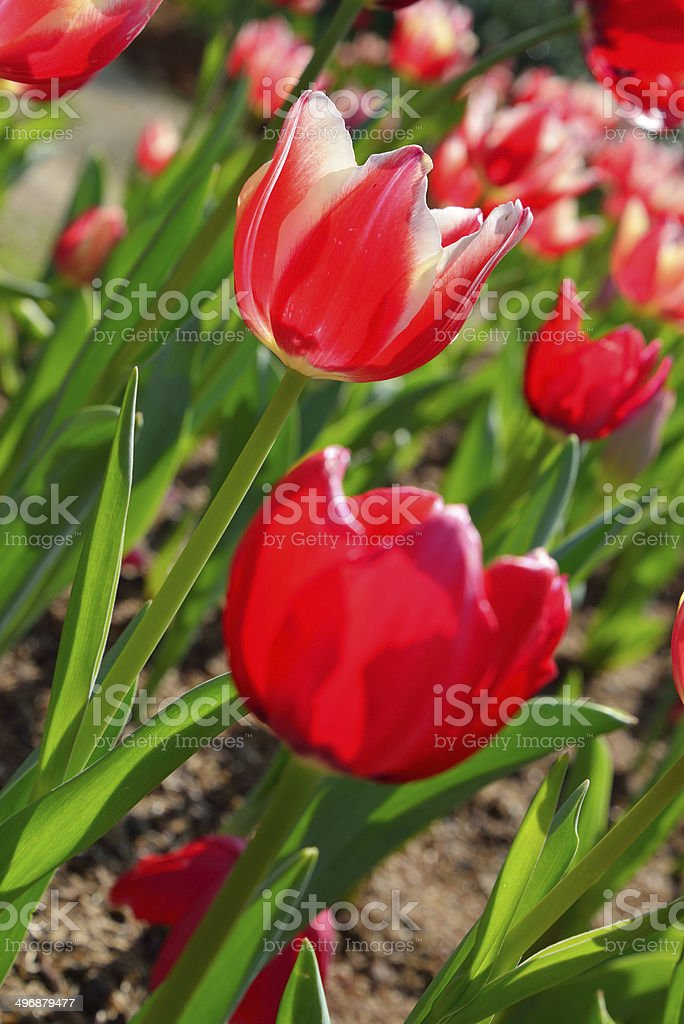 Red tulip flowers in the garden royalty-free stock photo