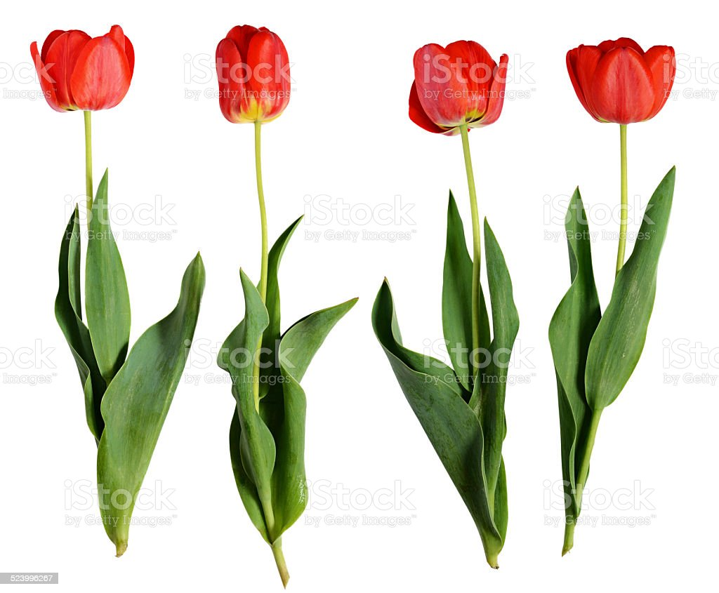 Red tulip flowers stock photo