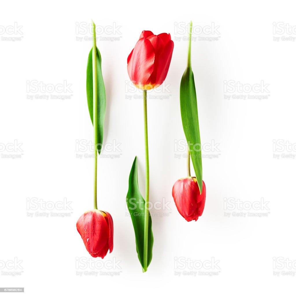 Red tulip flowers stock photo