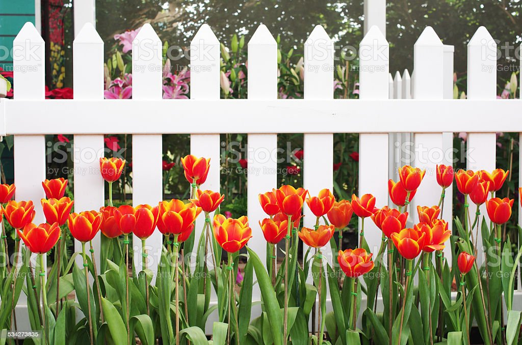red tulip in front of the white fences stock photo