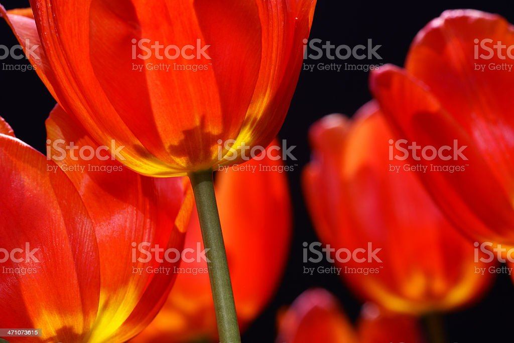 Red tulip in the counther-light royalty-free stock photo