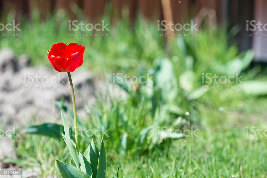 Red tulip in the garden on a sunny day stock photo