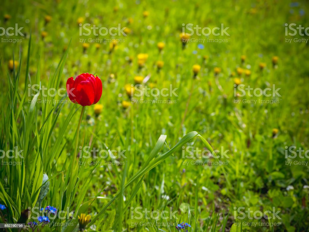 Red tulip in the garden. Summer background. Spring. stock photo