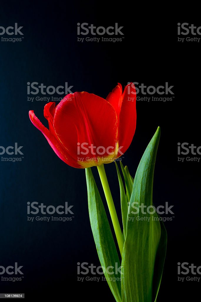 Red Tulip on Black Background royalty-free stock photo