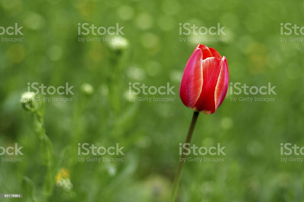 Red tulip on timber glade royalty-free stock photo