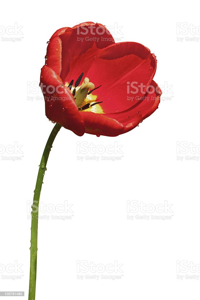 red tulip on white background stock photo