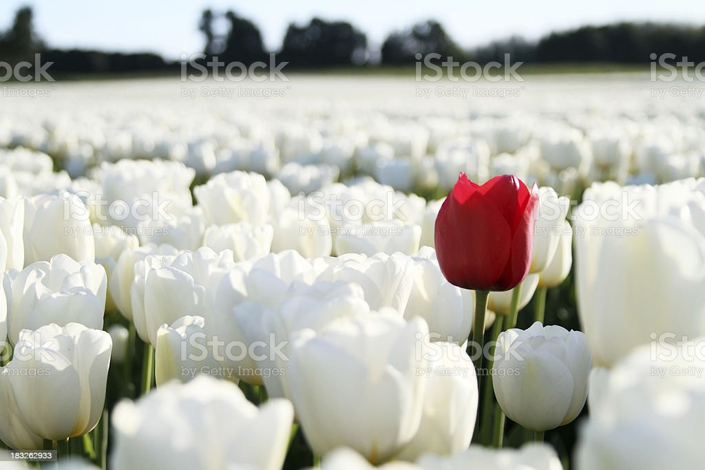 red tulip on white background royalty-free stock photo