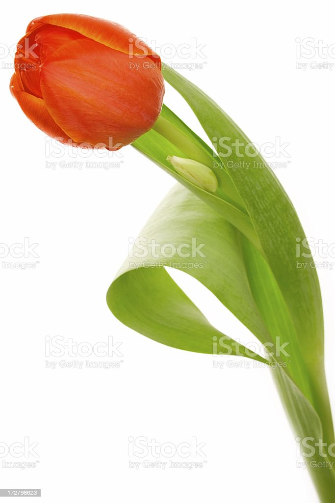 red tulip on white royalty-free stock photo