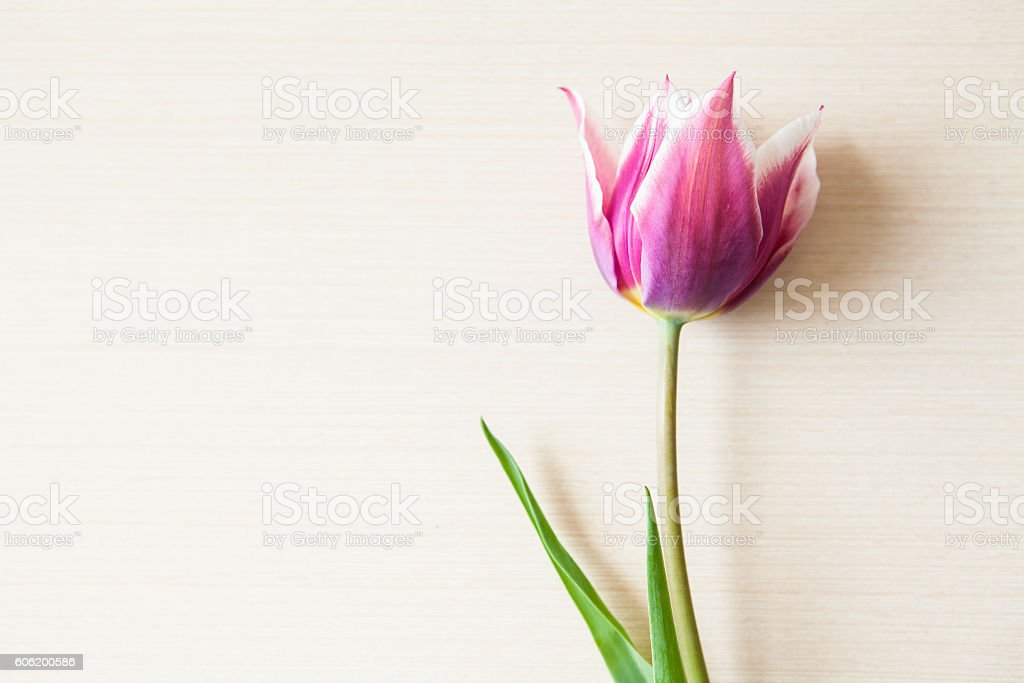 Red tulip on wooden background with copy space stock photo
