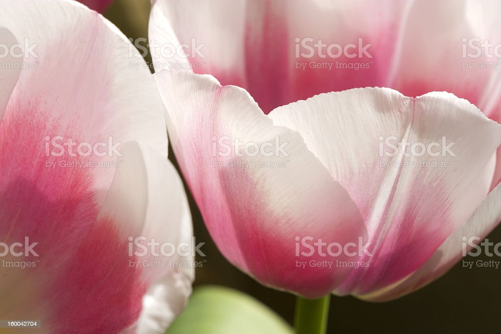 Red tulip. royalty-free stock photo