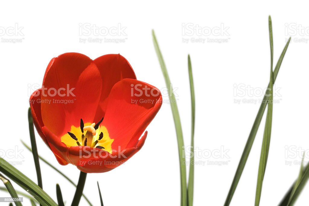 Red tulip royalty-free stock photo