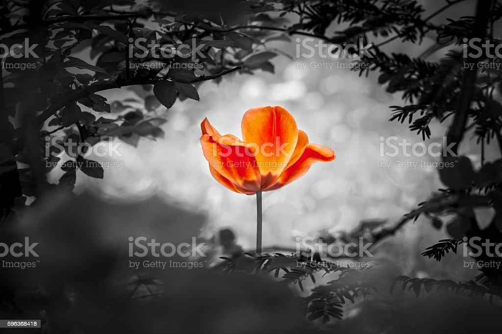 Red tulip resurrection in black white for peace love hope stock photo