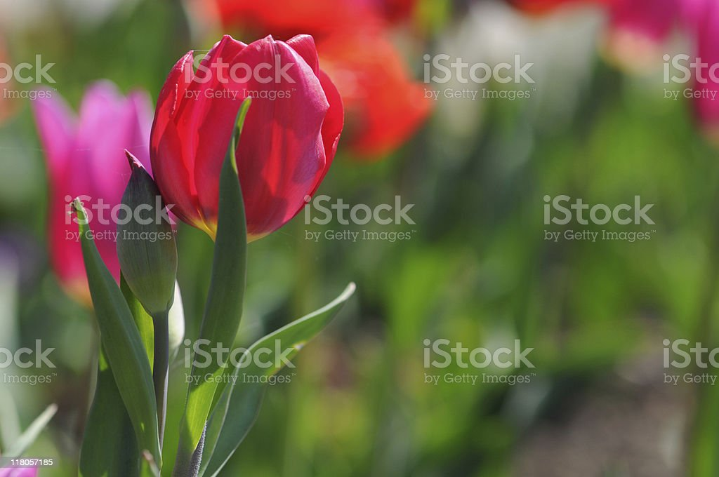 red tulip with copyspace stock photo