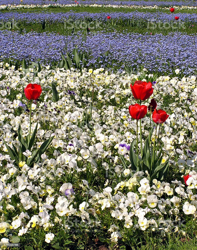 Red tulip with field of pansyes royalty-free stock photo