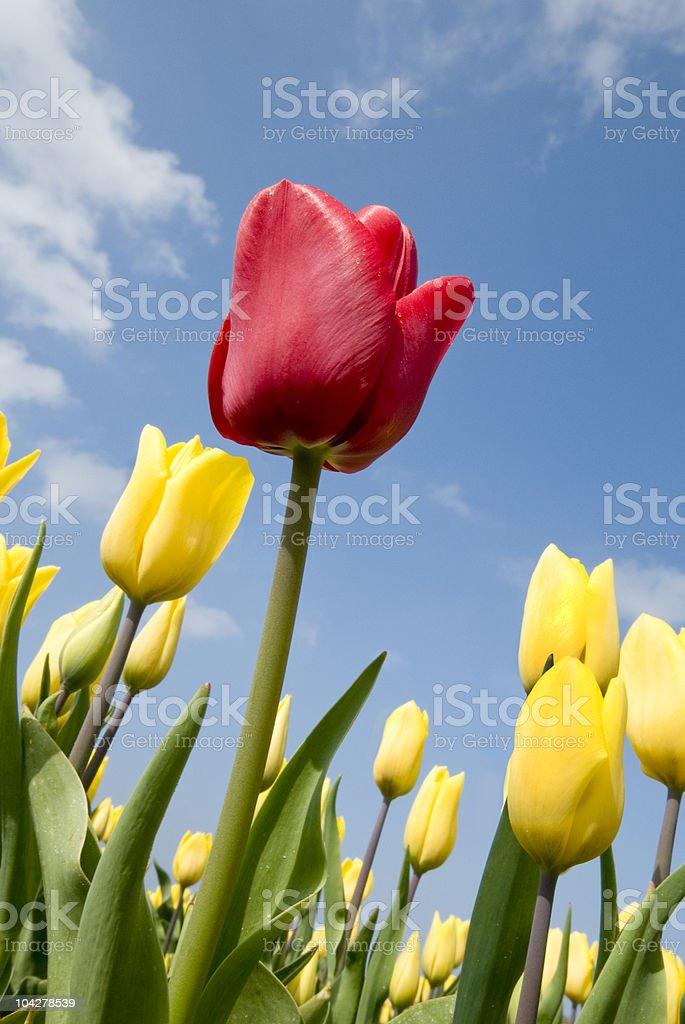 Tulipe rouge avec champ de tulipes jaunes photo libre de droits
