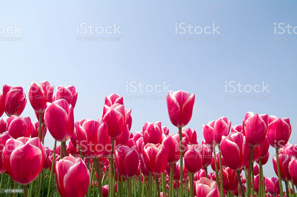 Red Tulips against Blue Sky royalty-free stock photo