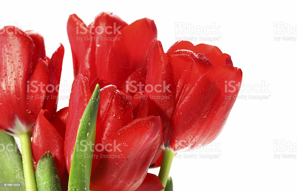 Red tulips against white stock photo