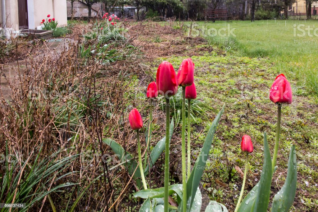 Red tulips among the stale old plants in an abandoned garden stock photo