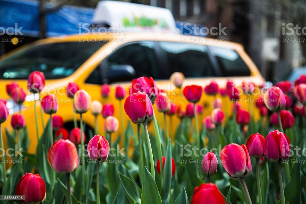Red Tulips And A Yellow Cab stock photo