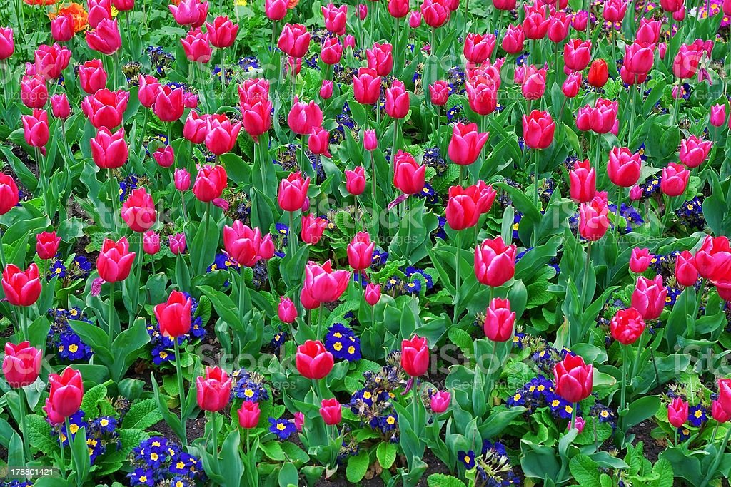 Red tulips and blue flowers royalty-free stock photo