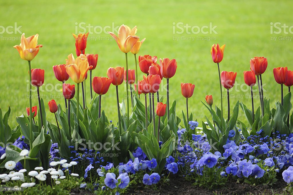 red tulips and blue pansy stock photo