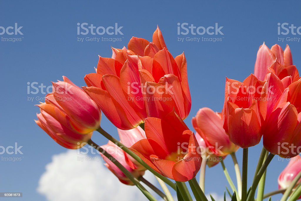 Red Tulips and blue sky royalty-free stock photo