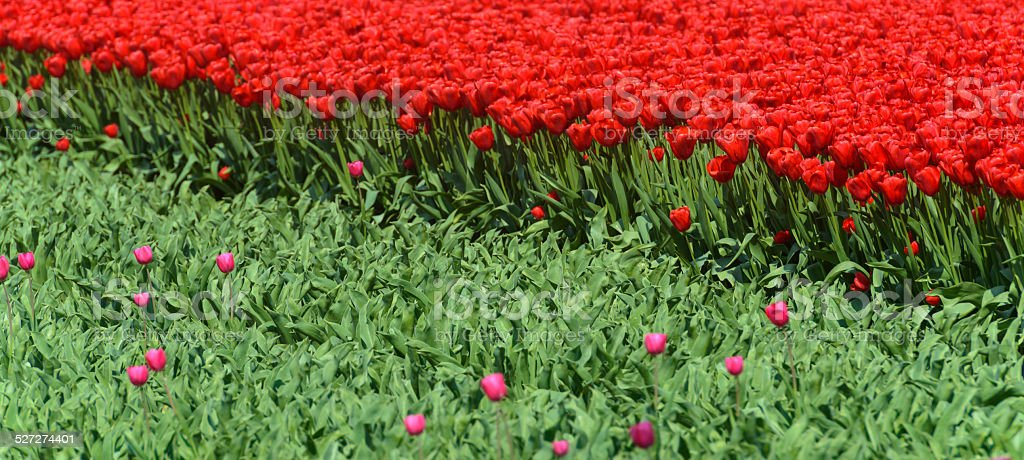 Red Tulips and cut pink Tulips stock photo